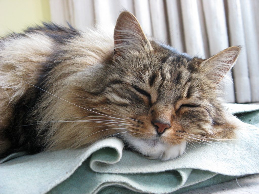 My handsome, long-whiskered, long-haired, tortoiseshell tom cat sleeping on a pale green blanket.