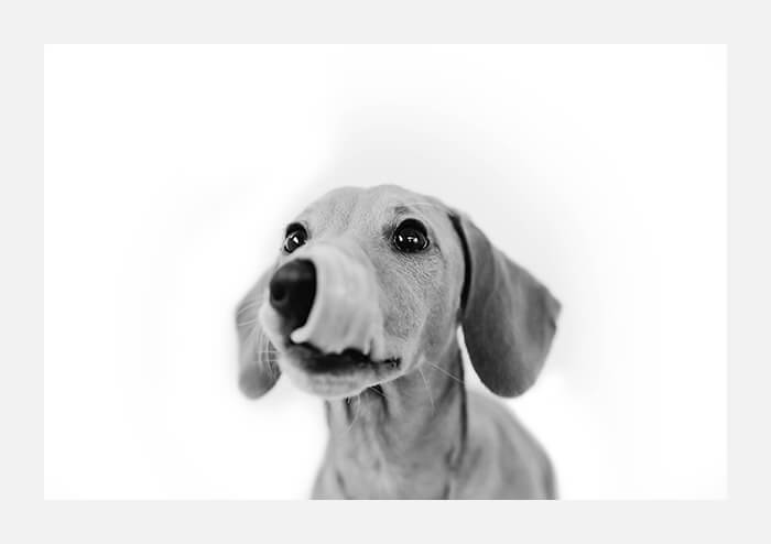Black and white portrait print of Hugo the Dachshund Puppy by SugarDoobs on Etsy