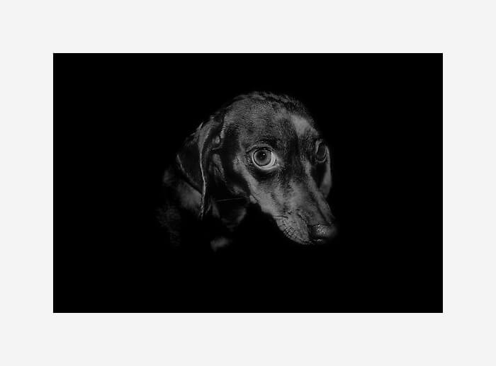 Moody black and white portrait of a dachshund by artist Rachael Rose on RedBubble